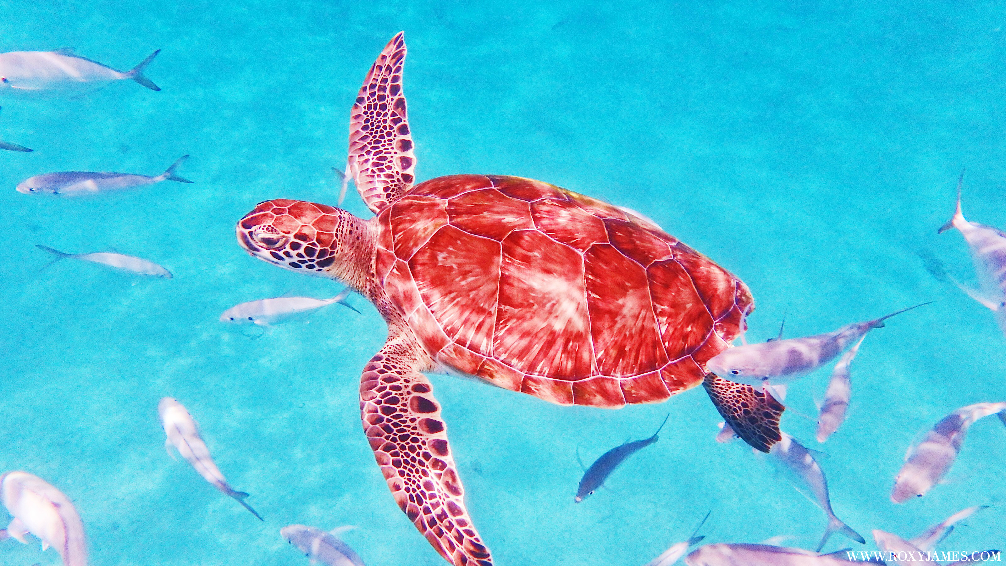 swim with turtles in Barbados with Calabaza